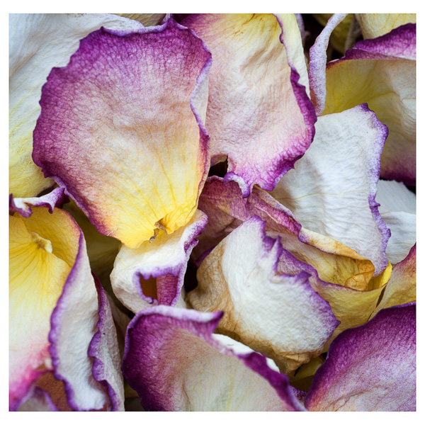 Rose Petals : details : TIMOTHY FLOYD PHOTOGRAPHER, NATURE PHOTOGRAPHY, PHOTO ESSAYS, PHOTOJOURNALISM