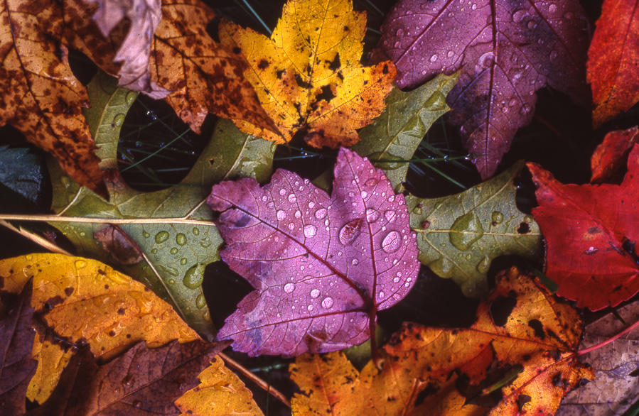 Autumn Leaves 3 : details : TIMOTHY FLOYD PHOTOGRAPHER, NATURE PHOTOGRAPHY, PHOTO ESSAYS, PHOTOJOURNALISM