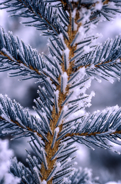Fir and Snow : details : TIMOTHY FLOYD PHOTOGRAPHER, NATURE PHOTOGRAPHY, PHOTO ESSAYS, PHOTOJOURNALISM
