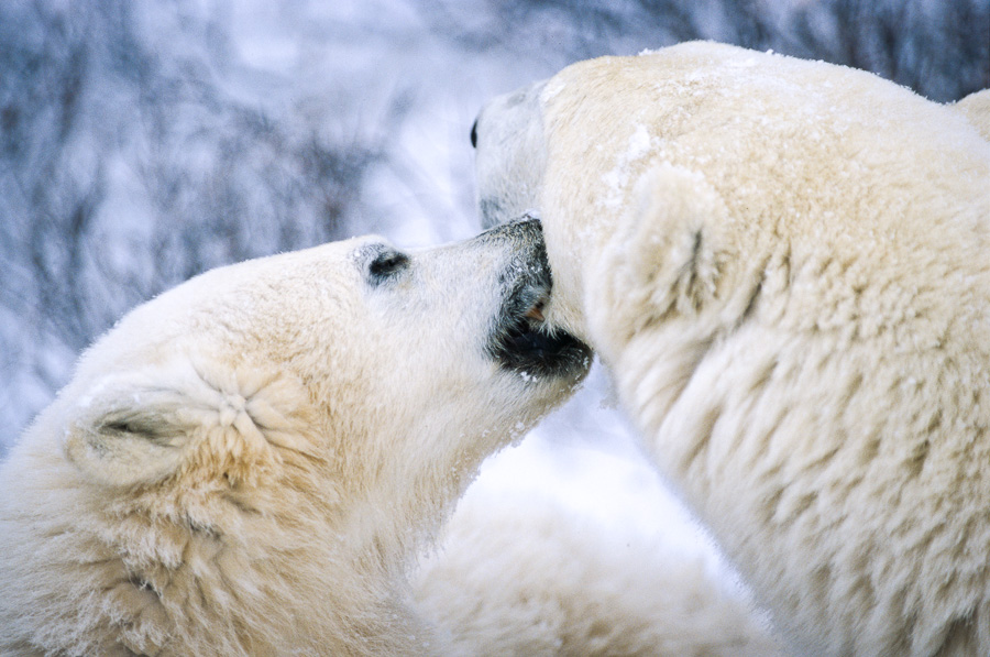 Love Nibbles : bears : TIMOTHY FLOYD PHOTOGRAPHER, NATURE PHOTOGRAPHY, PHOTO ESSAYS, PHOTOJOURNALISM