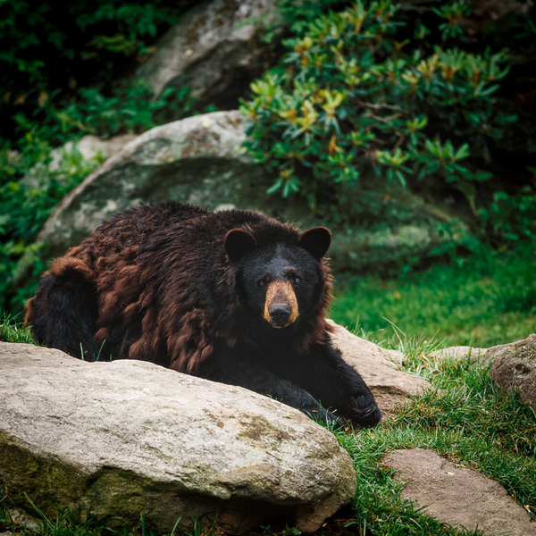 Black Bear, Grandfather Mountain (preserve) : bears : TIMOTHY FLOYD PHOTOGRAPHER, NATURE PHOTOGRAPHY, PHOTO ESSAYS, PHOTOJOURNALISM