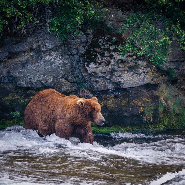 Reticent : bears : TIMOTHY FLOYD PHOTOGRAPHER, NATURE PHOTOGRAPHY, PHOTO ESSAYS, PHOTOJOURNALISM