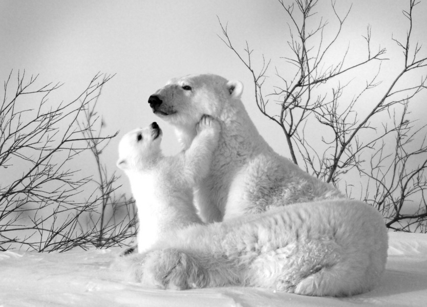 Polar Touch : bears : TIMOTHY FLOYD PHOTOGRAPHER, NATURE PHOTOGRAPHY, PHOTO ESSAYS, PHOTOJOURNALISM