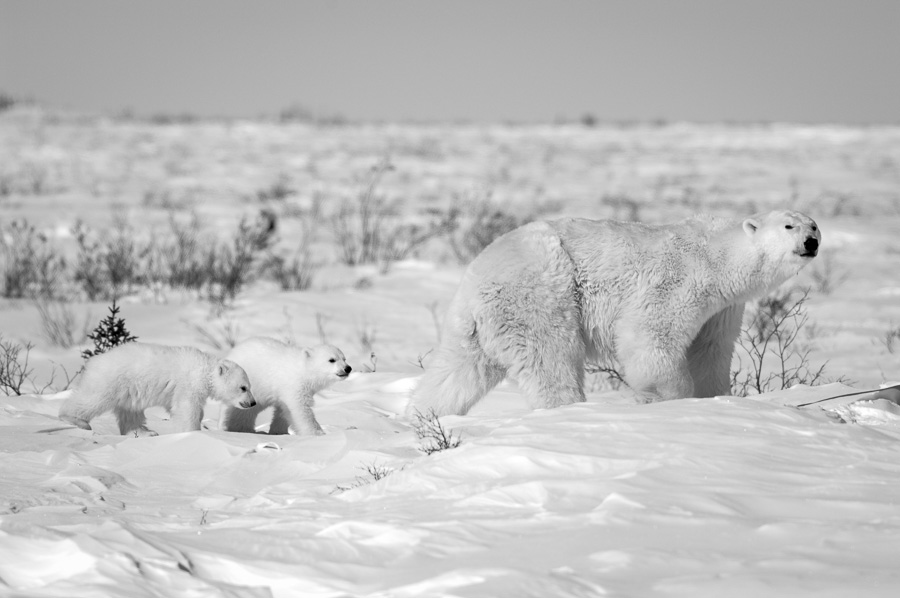 Follow Me : bears : TIMOTHY FLOYD PHOTOGRAPHER, NATURE PHOTOGRAPHY, PHOTO ESSAYS, PHOTOJOURNALISM