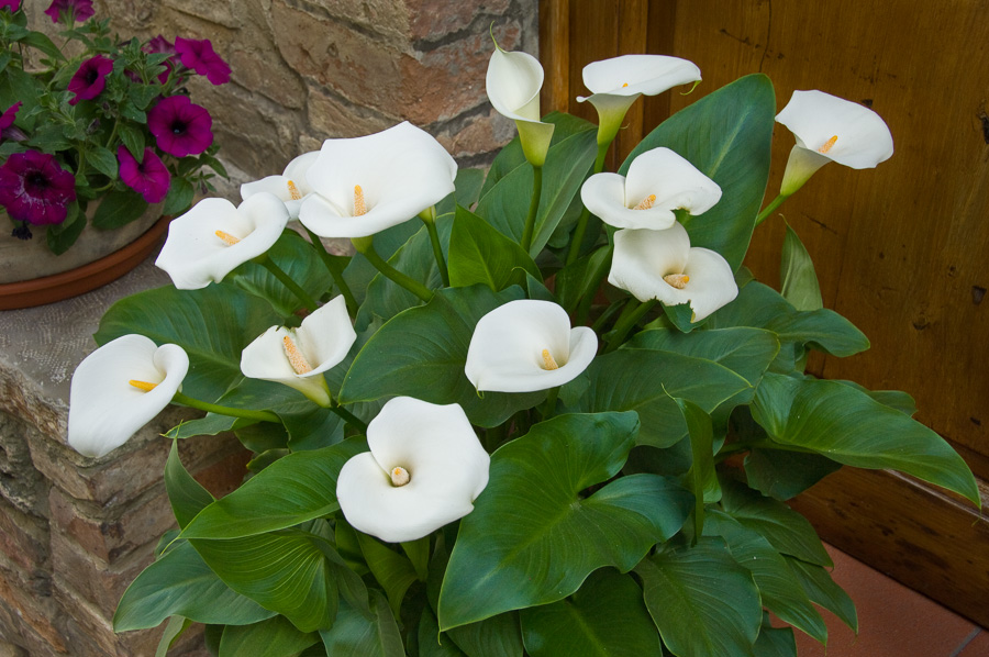 Calla Lillies : details : TIMOTHY FLOYD PHOTOGRAPHER, NATURE PHOTOGRAPHY, PHOTO ESSAYS, PHOTOJOURNALISM
