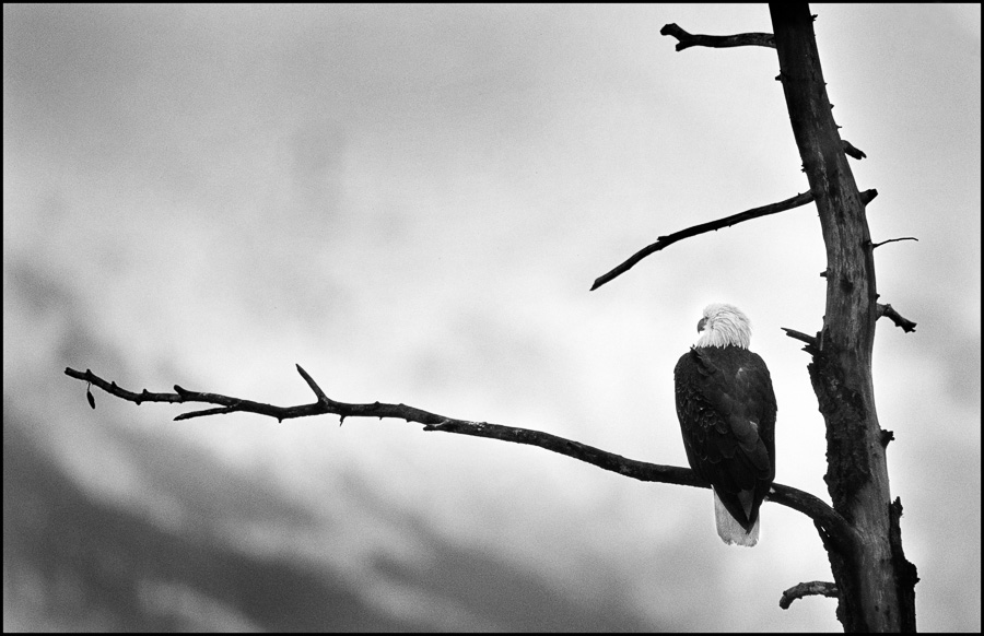Eagle : monochrom : TIMOTHY FLOYD PHOTOGRAPHER, NATURE PHOTOGRAPHY, PHOTO ESSAYS, PHOTOJOURNALISM