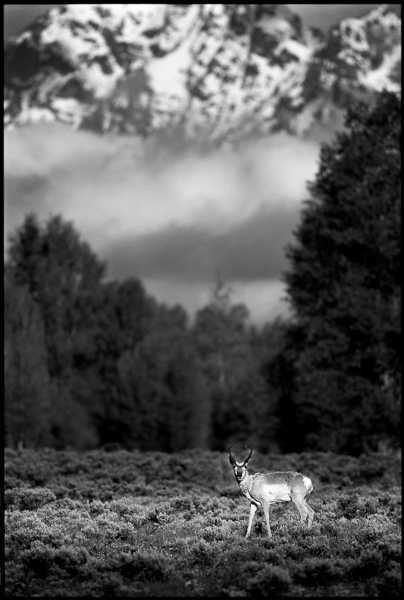 Antelope, Grand teton National Park : monochrom : TIMOTHY FLOYD PHOTOGRAPHER, NATURE PHOTOGRAPHY, PHOTO ESSAYS, PHOTOJOURNALISM