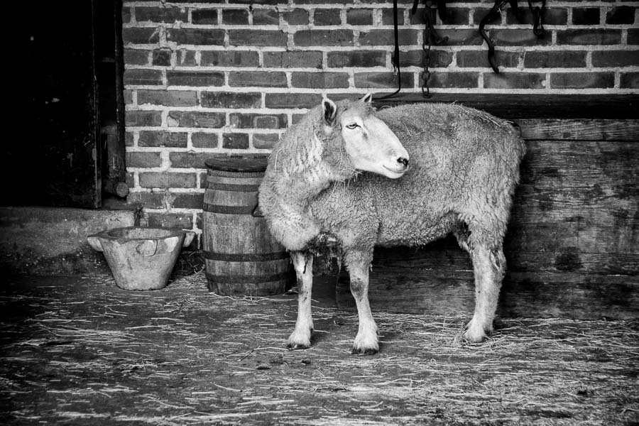 Sheep, Middleton Place : monochrom : TIMOTHY FLOYD PHOTOGRAPHER, NATURE PHOTOGRAPHY, PHOTO ESSAYS, PHOTOJOURNALISM