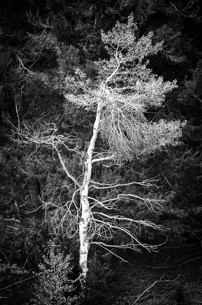 Aspen Tree, Idaho : monochrom : TIMOTHY FLOYD PHOTOGRAPHER, NATURE PHOTOGRAPHY, PHOTO ESSAYS, PHOTOJOURNALISM