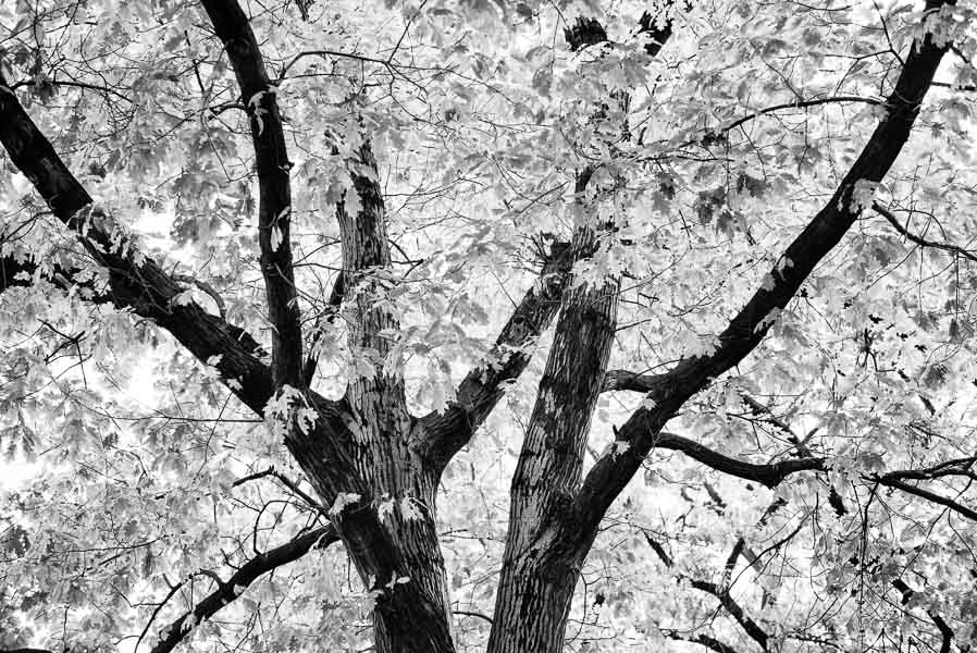 Oak Tree : monochrom : TIMOTHY FLOYD PHOTOGRAPHER, NATURE PHOTOGRAPHY, PHOTO ESSAYS, PHOTOJOURNALISM