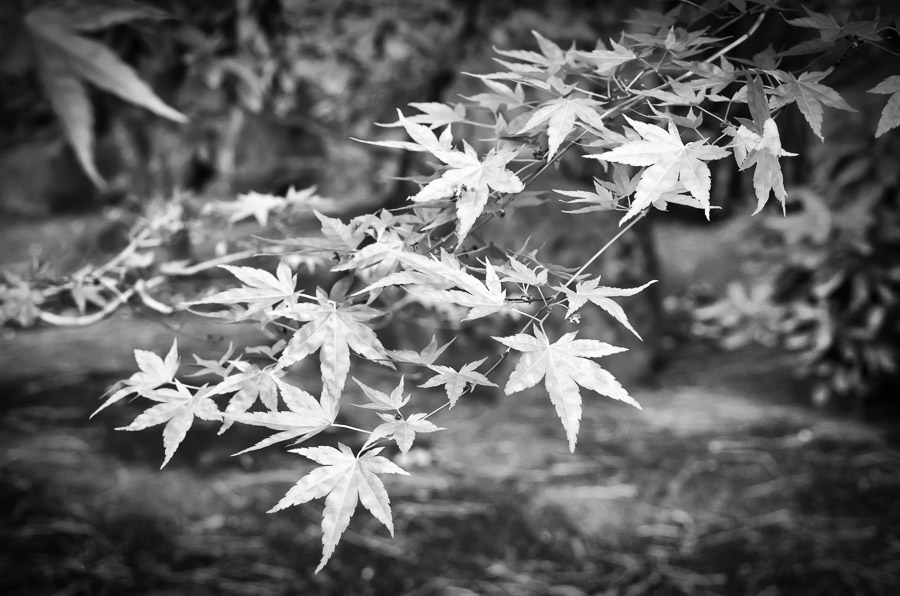 Japanese Maple Leaves : monochrom : TIMOTHY FLOYD PHOTOGRAPHER, NATURE PHOTOGRAPHY, PHOTO ESSAYS, PHOTOJOURNALISM
