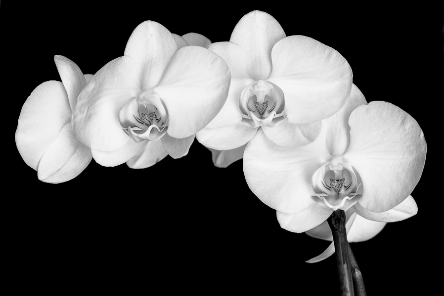 Orchids : monochrom : TIMOTHY FLOYD PHOTOGRAPHER, NATURE PHOTOGRAPHY, PHOTO ESSAYS, PHOTOJOURNALISM