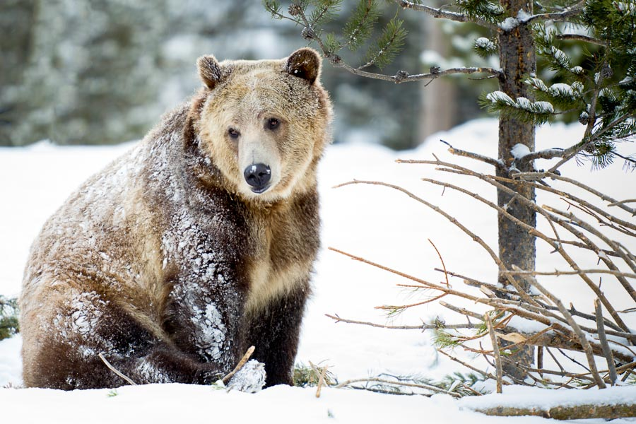 Brown Bear (preserve) : bears : TIMOTHY FLOYD PHOTOGRAPHER, NATURE PHOTOGRAPHY, PHOTO ESSAYS, PHOTOJOURNALISM