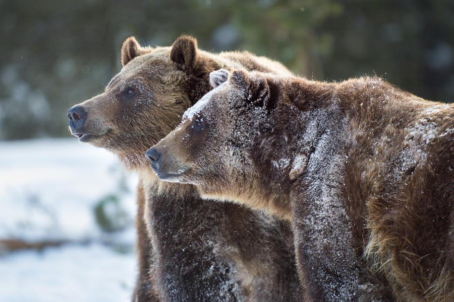 Male and Female Brown Bears (preserve) : bears : TIMOTHY FLOYD PHOTOGRAPHER, NATURE PHOTOGRAPHY, PHOTO ESSAYS, PHOTOJOURNALISM