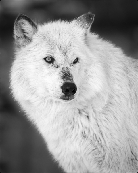 Gray Wolf : monochrom : TIMOTHY FLOYD PHOTOGRAPHER, NATURE PHOTOGRAPHY, PHOTO ESSAYS, PHOTOJOURNALISM