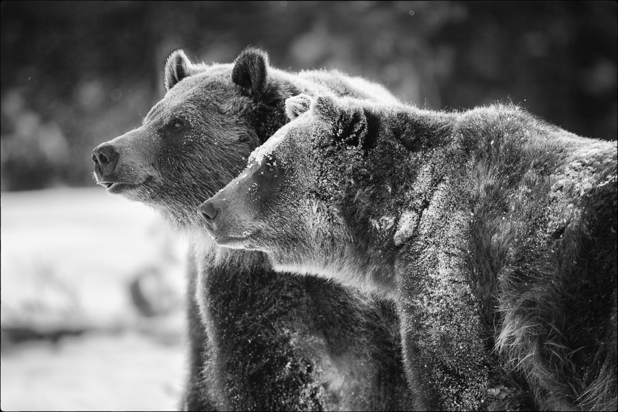 Two Brown Bears : monochrom : TIMOTHY FLOYD PHOTOGRAPHER, NATURE PHOTOGRAPHY, PHOTO ESSAYS, PHOTOJOURNALISM