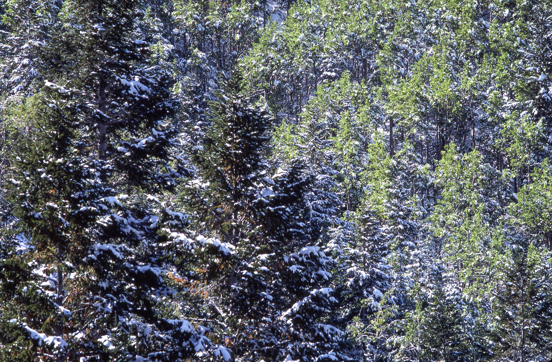 Pine and Aspen,