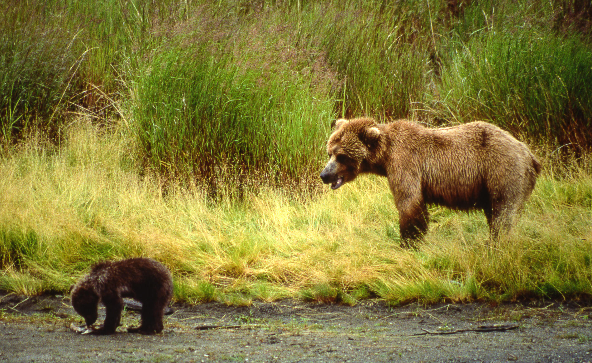 Mother and Cub of the Year, Katmai National Park, Alaska : bears : TIMOTHY FLOYD PHOTOGRAPHER, NATURE PHOTOGRAPHY, PHOTO ESSAYS, PHOTOJOURNALISM
