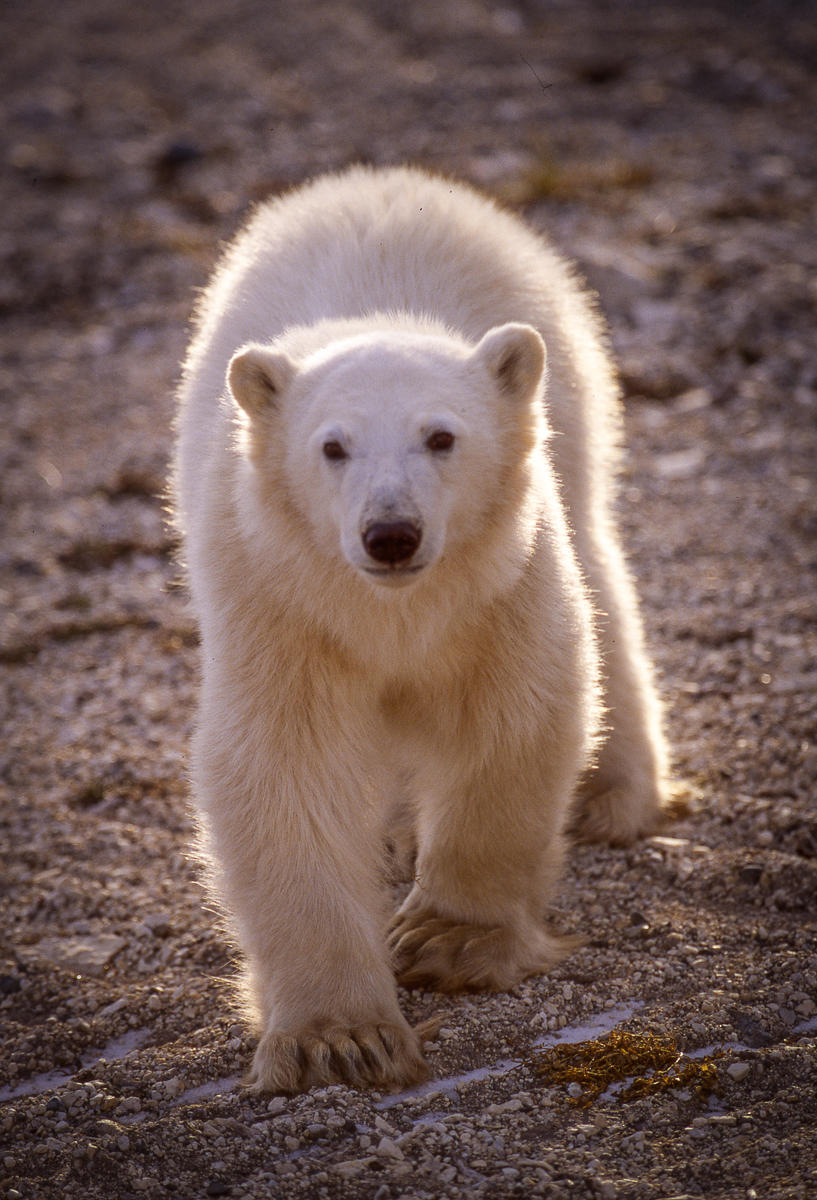 Two-Year Old Polar Bear Cub : bears : TIMOTHY FLOYD PHOTOGRAPHER, NATURE PHOTOGRAPHY, PHOTO ESSAYS, PHOTOJOURNALISM