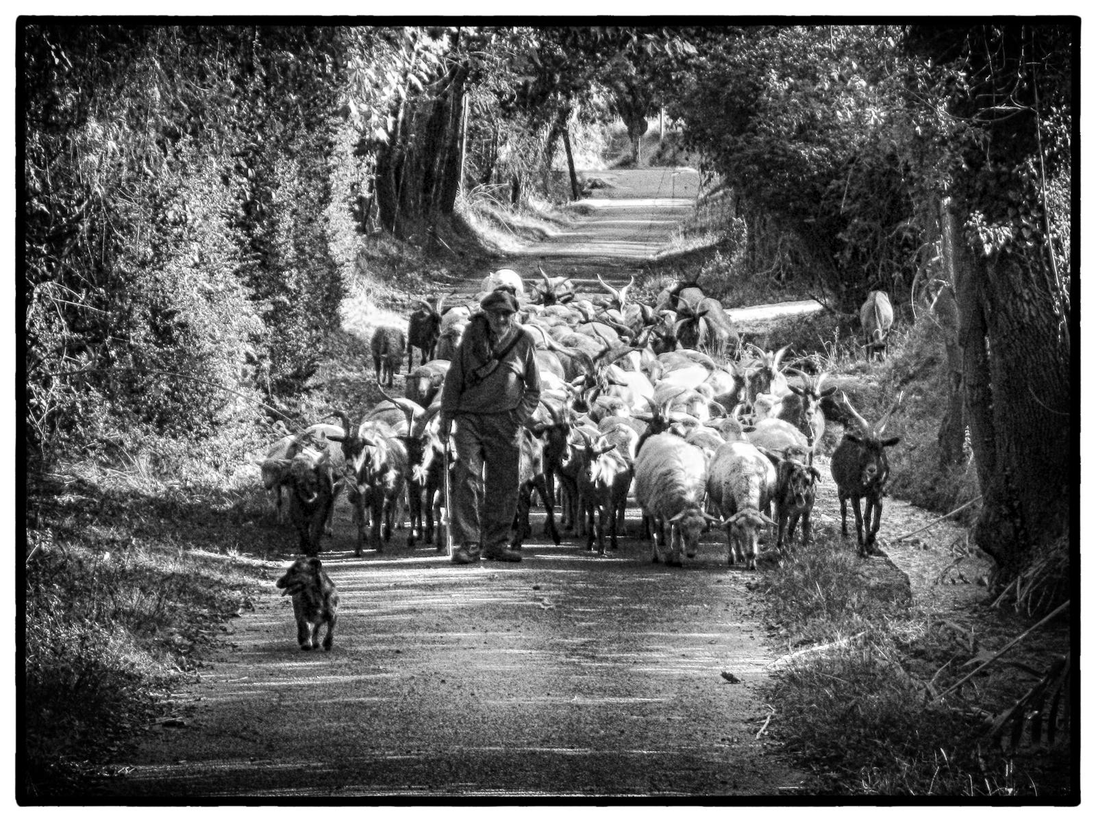 Herding Goats, Provence : street & stories : TIMOTHY FLOYD PHOTOGRAPHER, NATURE PHOTOGRAPHY, PHOTO ESSAYS, PHOTOJOURNALISM