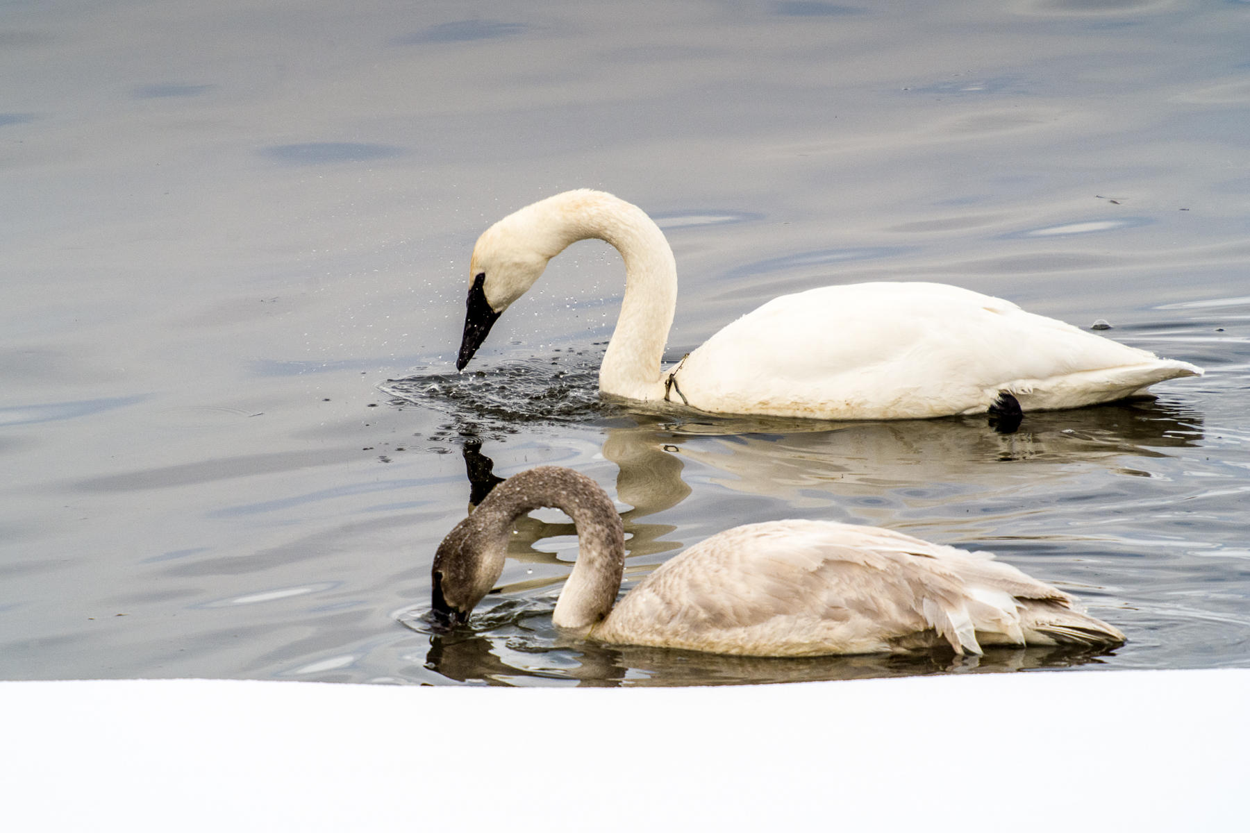 Trumpeter Swan and Signet, Harriman State Park, Idaho : wildlife : TIMOTHY FLOYD PHOTOGRAPHER, NATURE PHOTOGRAPHY, PHOTO ESSAYS, PHOTOJOURNALISM