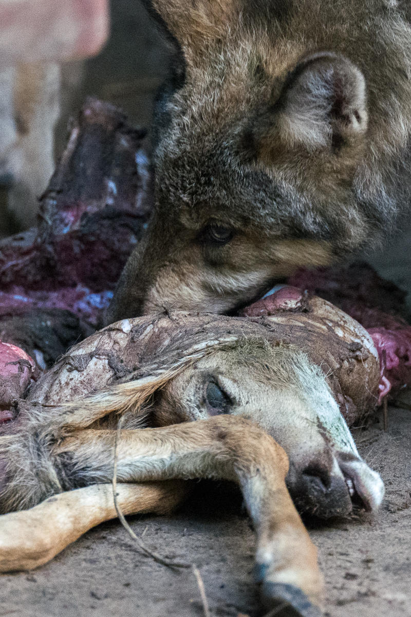 Gray Wolf and Deer Fawn, Wildlife Science Center, Minnesota : wildlife : TIMOTHY FLOYD PHOTOGRAPHER, NATURE PHOTOGRAPHY, PHOTO ESSAYS, PHOTOJOURNALISM