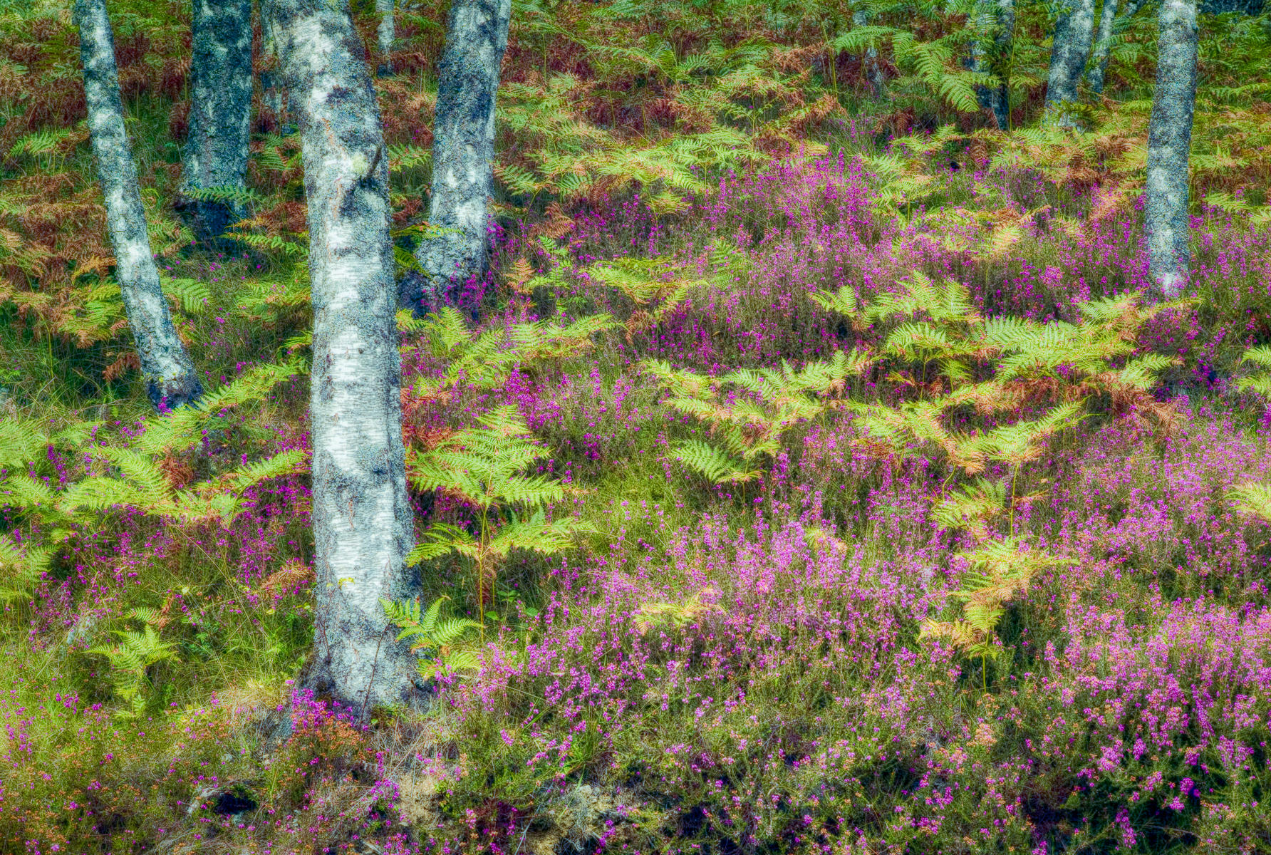 Heather in HDR, Scotland : street & stories : TIMOTHY FLOYD PHOTOGRAPHER, NATURE PHOTOGRAPHY, PHOTO ESSAYS, PHOTOJOURNALISM