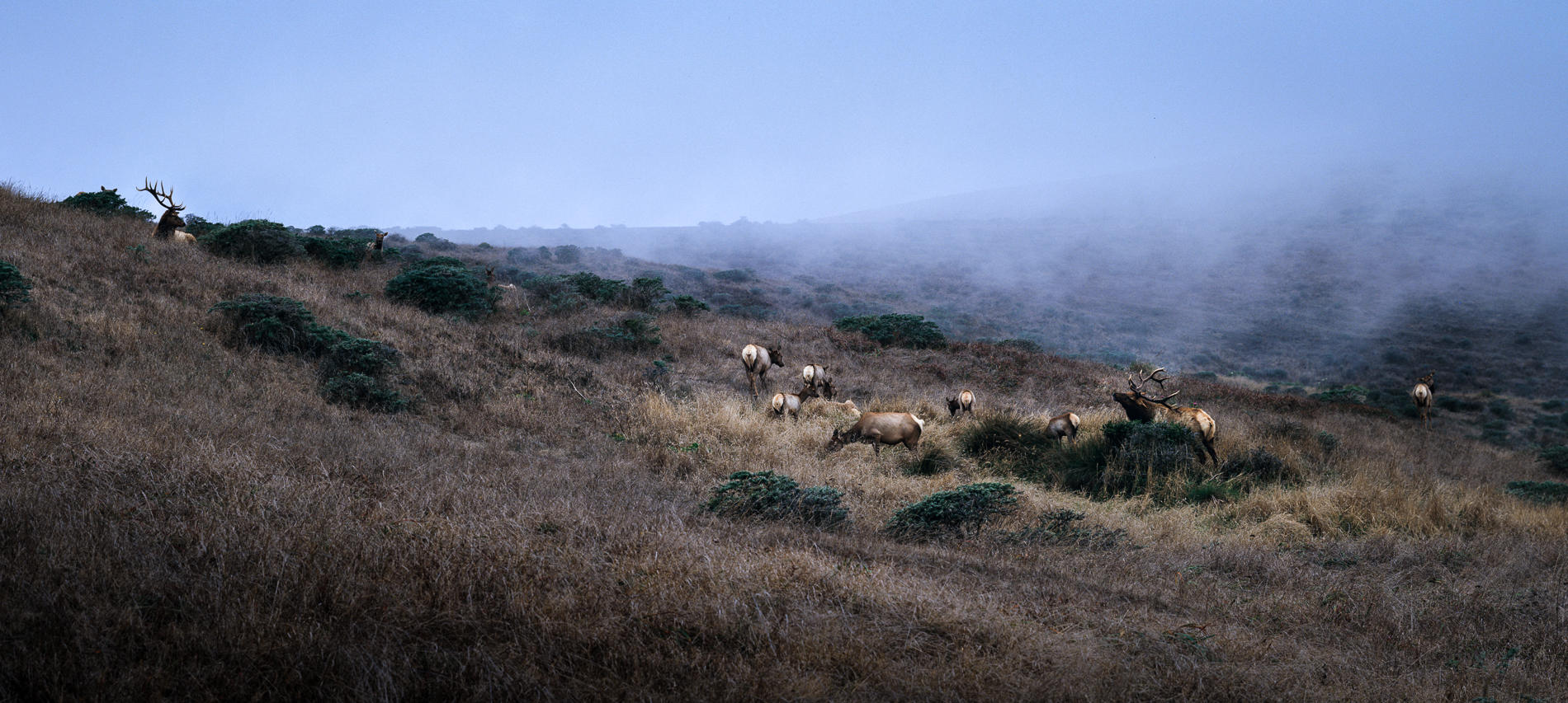 Tule Elk in Rut, Point Reyes National Seashore, California (4x5 view camera) : wildlife : TIMOTHY FLOYD PHOTOGRAPHER, NATURE PHOTOGRAPHY, PHOTO ESSAYS, PHOTOJOURNALISM