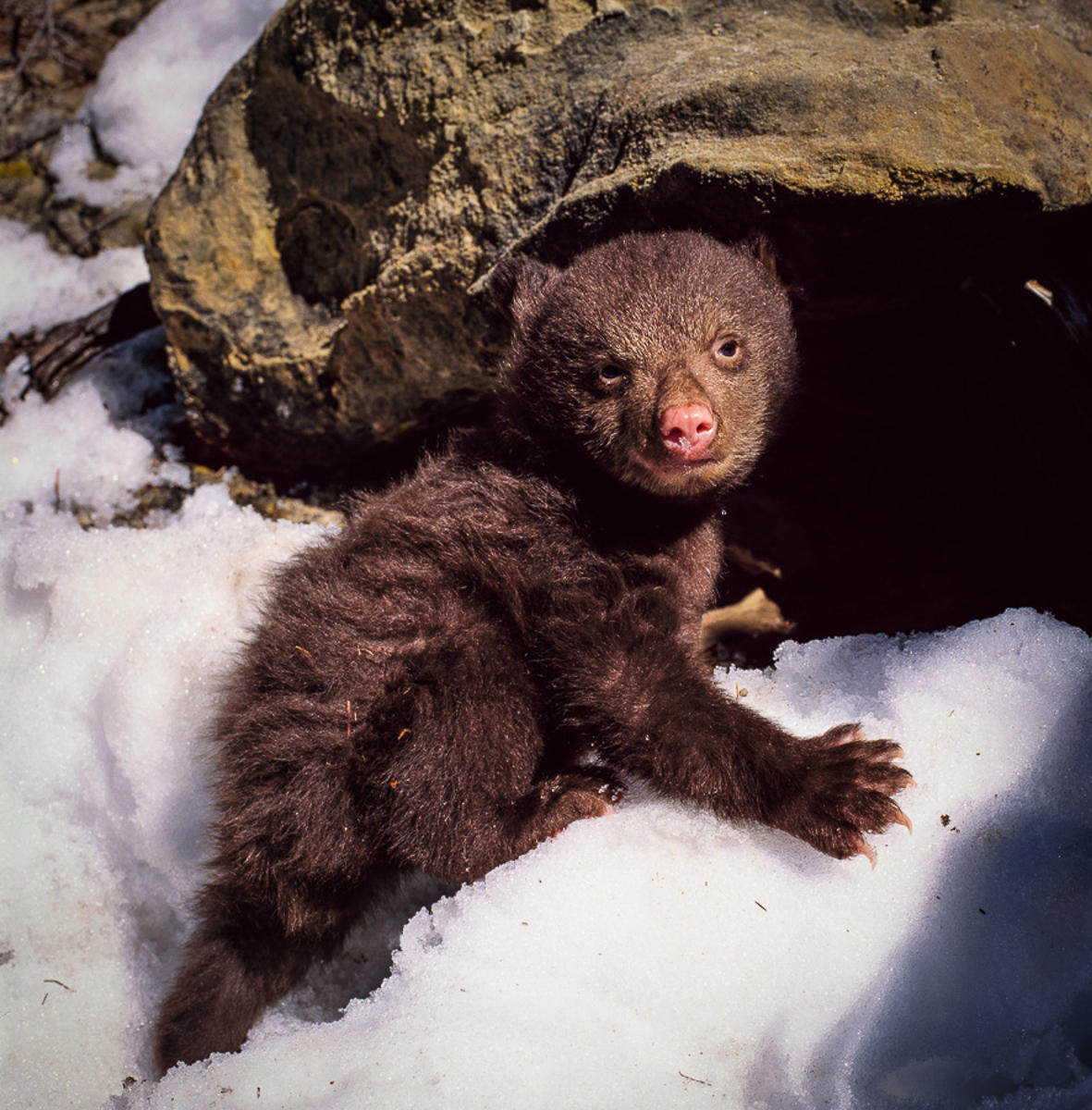 Black Bear Cub Outside Den, Kaibab Plateau
