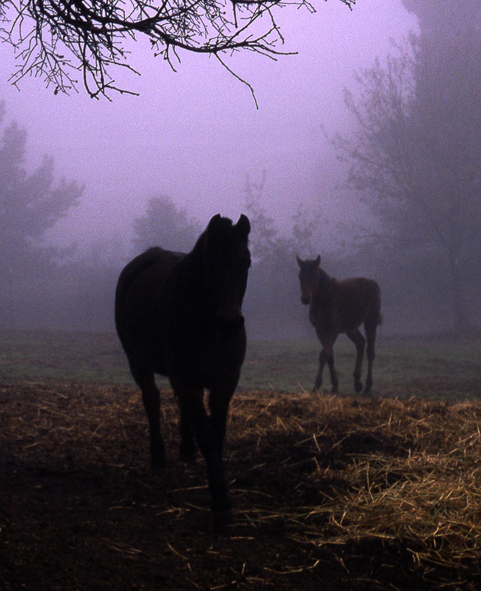 Horses in the Mist : equus et al : TIMOTHY FLOYD PHOTOGRAPHER, NATURE PHOTOGRAPHY, PHOTO ESSAYS, PHOTOJOURNALISM