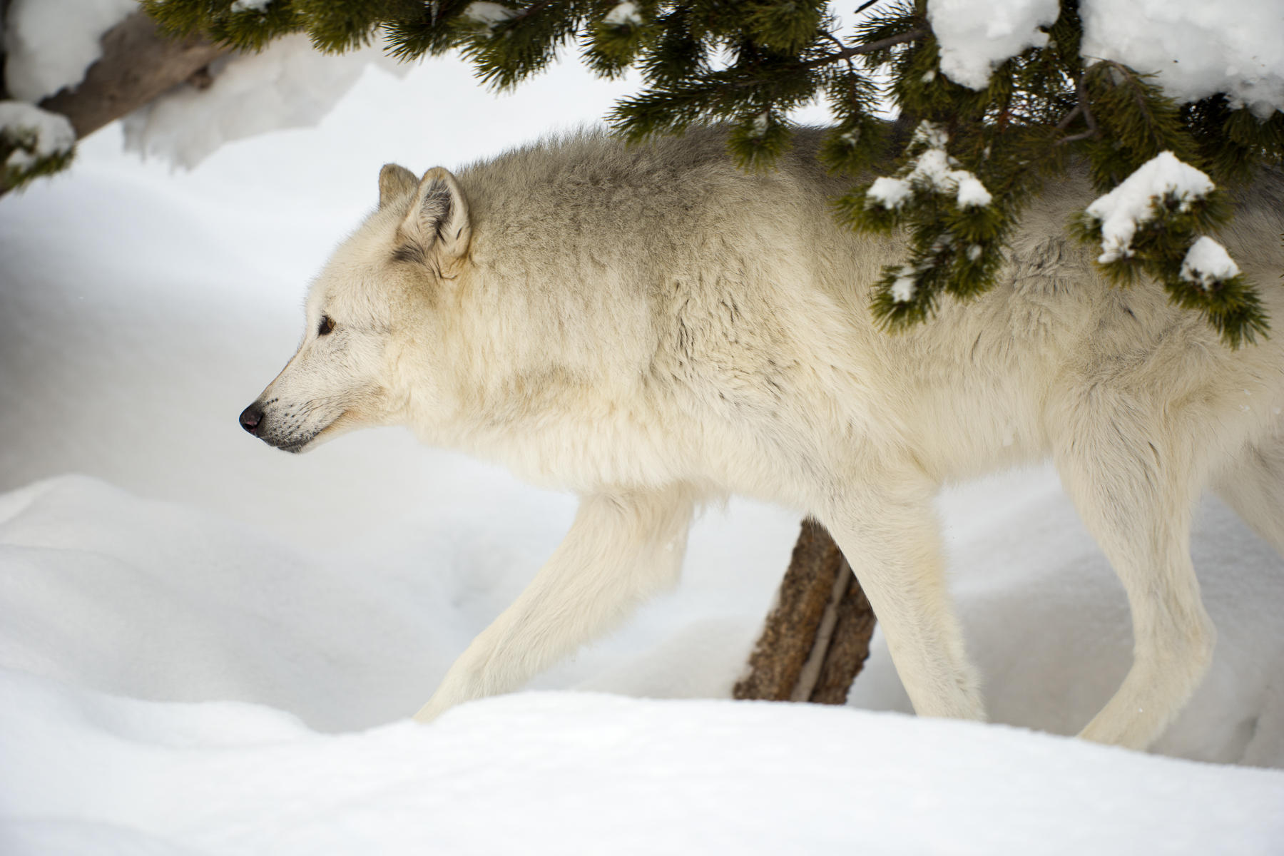 Gray wolf (Canis lupus), Grizzly and Wolf Discovery Center, Montana : wildlife : TIMOTHY FLOYD PHOTOGRAPHER, NATURE PHOTOGRAPHY, PHOTO ESSAYS, PHOTOJOURNALISM